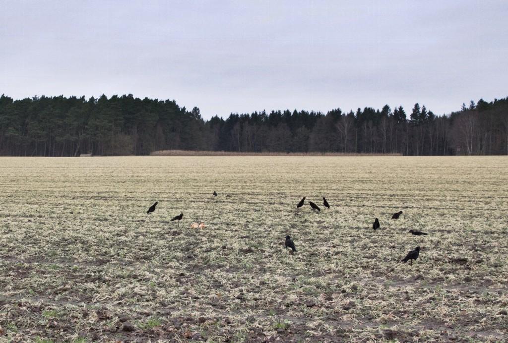 Krähenjagd Jagd Crow