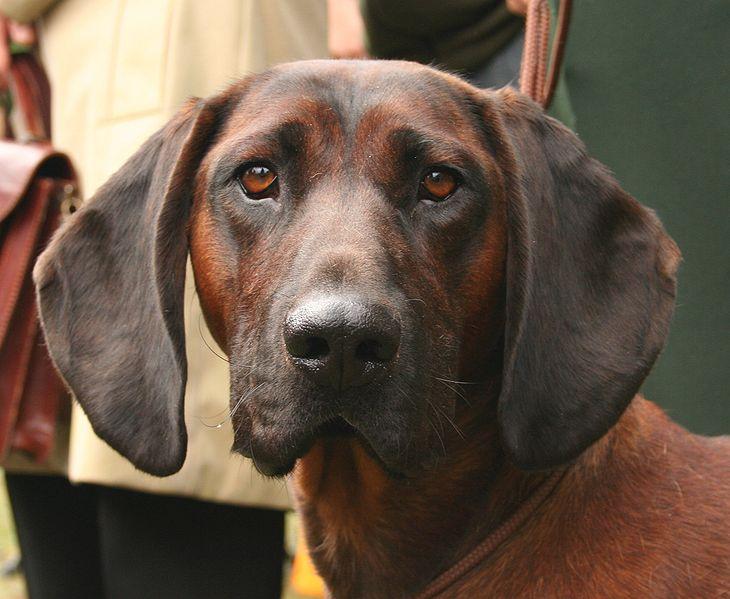 Bulgarian Hunting Dog Breeds
