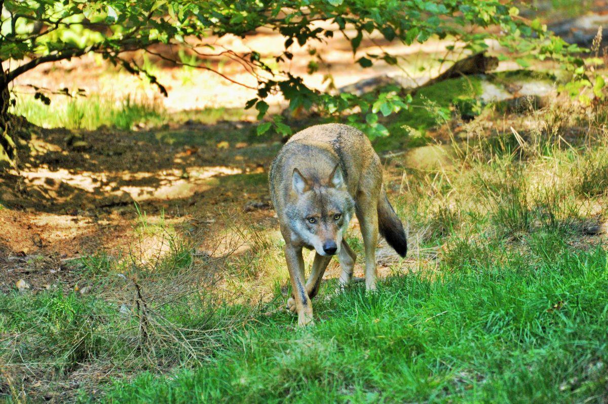 Wölfe: nicht im, sondern mit Schafspelz. Zunehmende Nutztierrisse und verstimmte Halter lassen den Wolf zum Problemtier werden. (Symbolbild) ©Silvio Heidler