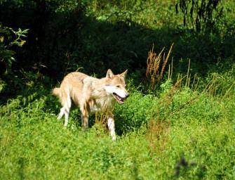 Hessen: Überfahrener Wolf stammt aus der Lausitz