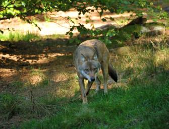Munster: Toter Wolf auf Truppenübungsplatz gefunden