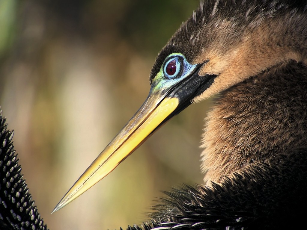 ©Gudrun Kaufmann - Anhinga, Taking care of the wet suit
