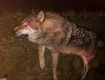 Erneut zwei tote Wölfe durch Kollisionen im Straßenverkehr