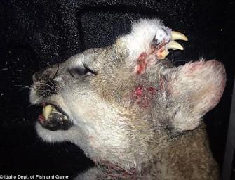 Unheimliche Entdeckung in den USA – erlegter Puma ist biologische Sensation.