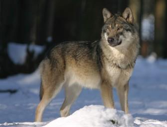 Wolf beisst angeleinten Hund bei Spaziergang