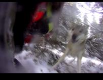 Schwedische Jagdhunde bei Fuchsjagd von Wölfen attackiert