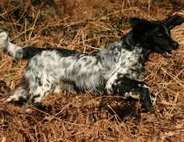 Hessen: Jagdhund stirbt nach Ansteckung mit Aujeszkyscher Krankheit