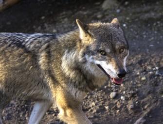 Bundesweite Wolfs-Beratungsstelle in Görlitz geplant