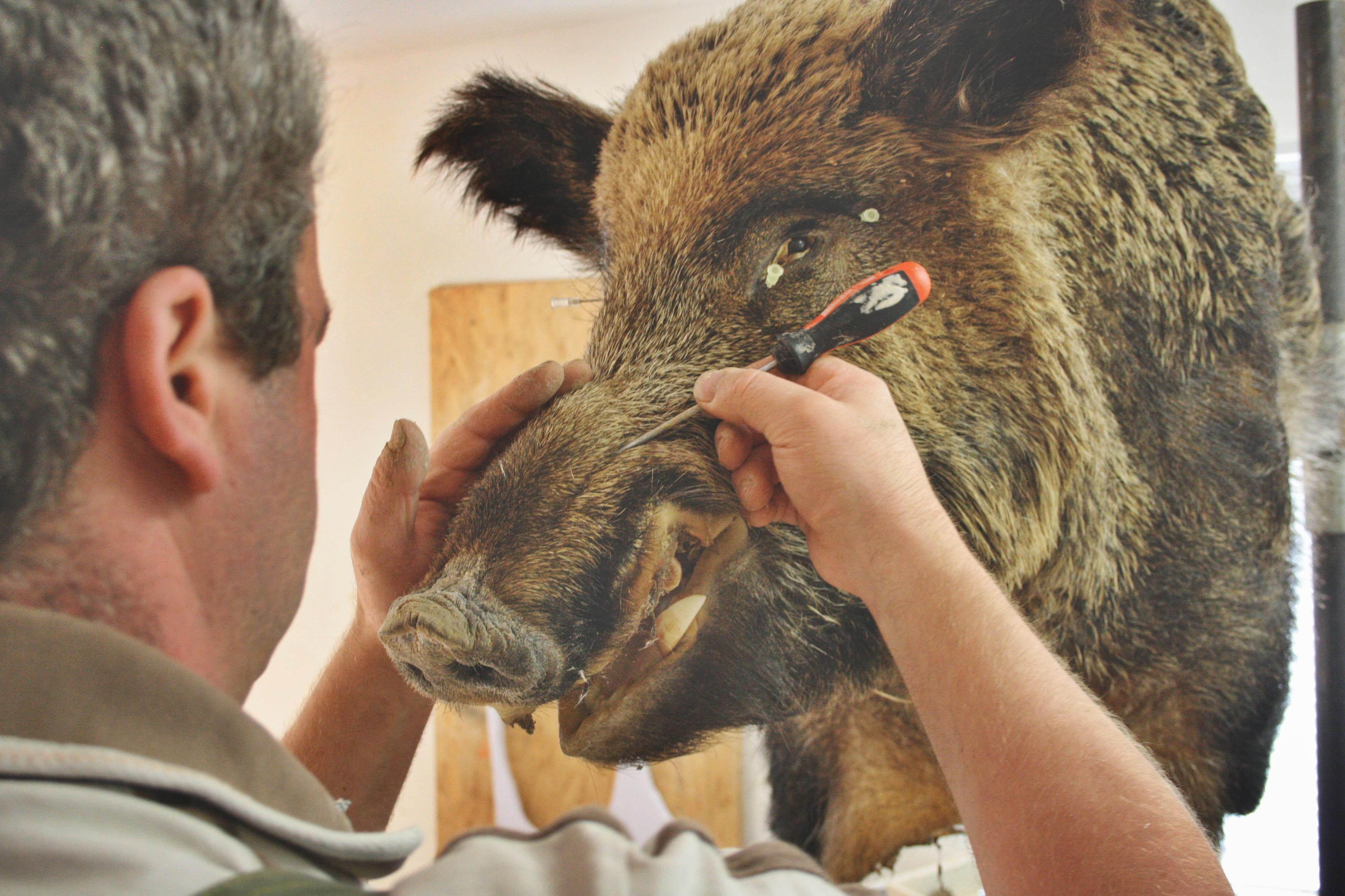 Der Lebenskeiler beim Präparator - Kopf-Schulter Präparat eines ...
