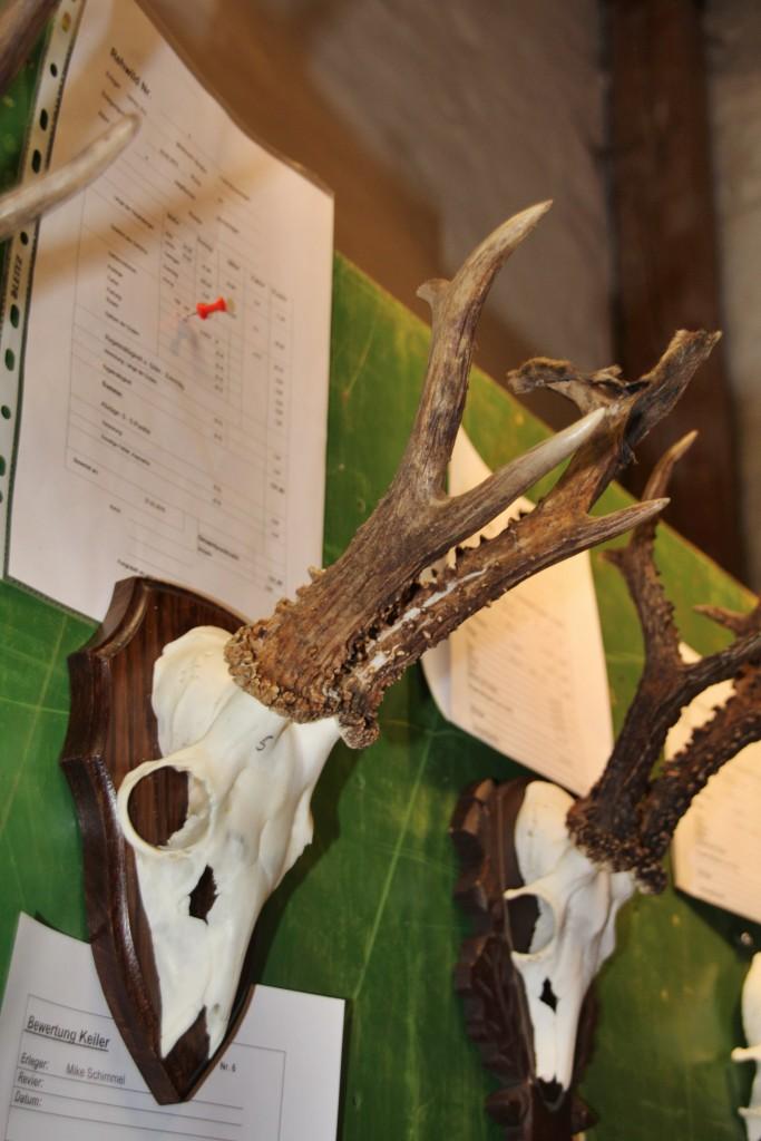 Der stärkste Bock der Ausstellung – ca. 450Gramm