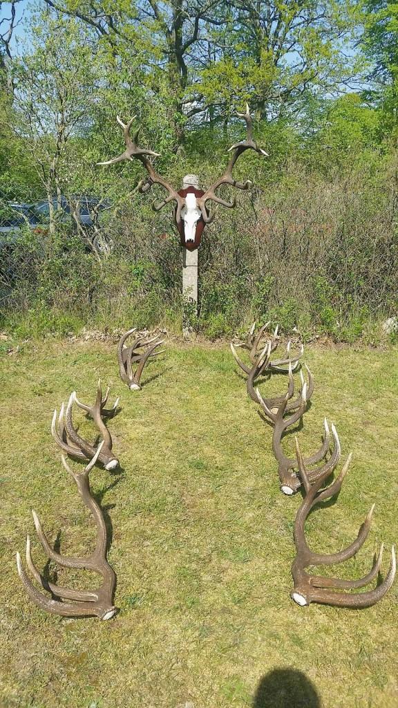 Bei uns hier im Nordosten sind die Hirsche meist erst mit dem 13.-14. Kopf auf ihrem Höhepunkt. Reihen wie diese bestätigen das immer wieder. ©Wilddiebe