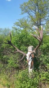 Typisch für die Hirsche im Steine Haff ist die häufig fehlende Eissprosse. Dafür sind die Kronen meist endenreich. ©Wilddiebe
