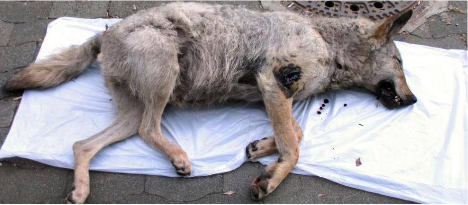 Hessen: Der im Mai 2016 überfahrene Wolf stammt aus der Lausitz. ©Screenshot HR