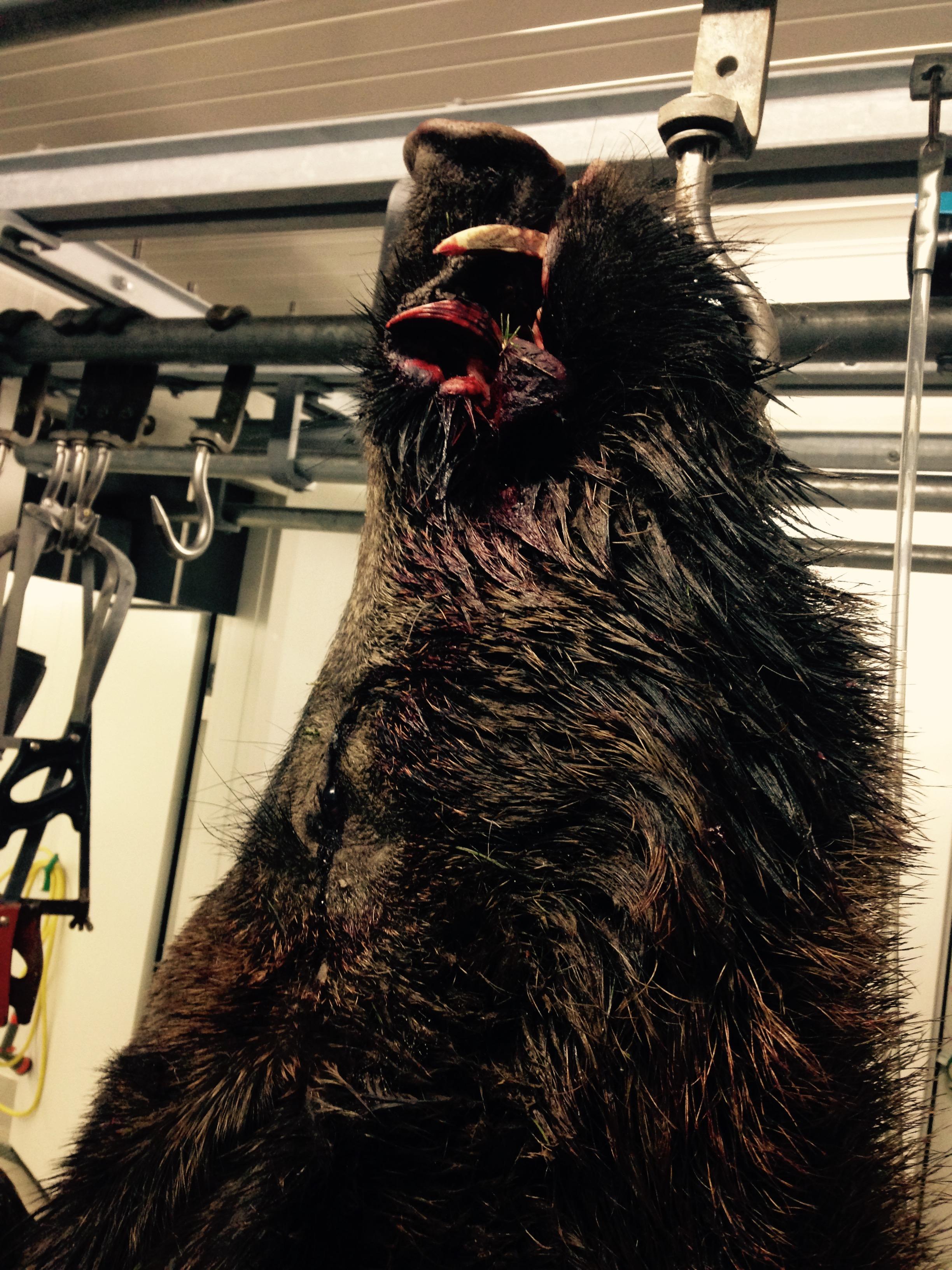 Wie überträgt sich dieAujeszkysche Krankheit? Was ist die Aujetzkische Krankheit Sauen Wildschwein Keiler Strecke Wildbret Schweinefleisch Wie schütze ich meinen Hund vor der Aujeszkyschen Krankheit