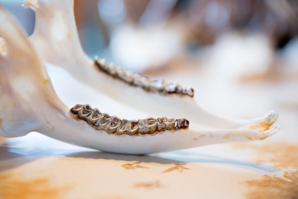 Zähne eines Reifen: als wären sie aus Perlmut – dank Phacelia. @Pauline von Hardenberg pvh-160330-KNAACK-3703Pauline von Hardenberg Rehwild Rehbock Bock Böcke Rudi Knaack