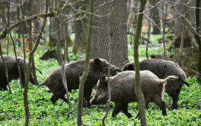 """Zitat: Bis auf wenige Schritt kommt man im Gatter an die Wildschweine heran. Sie werden durch Füttern an den Menschen gewöhnt. Die Sauen totzuschießen, ist keine Kunst. Deshalb nennt man solche Gatter auch """"Jagdbordelle"""". ©Screenshot SWR/TV-Info"""