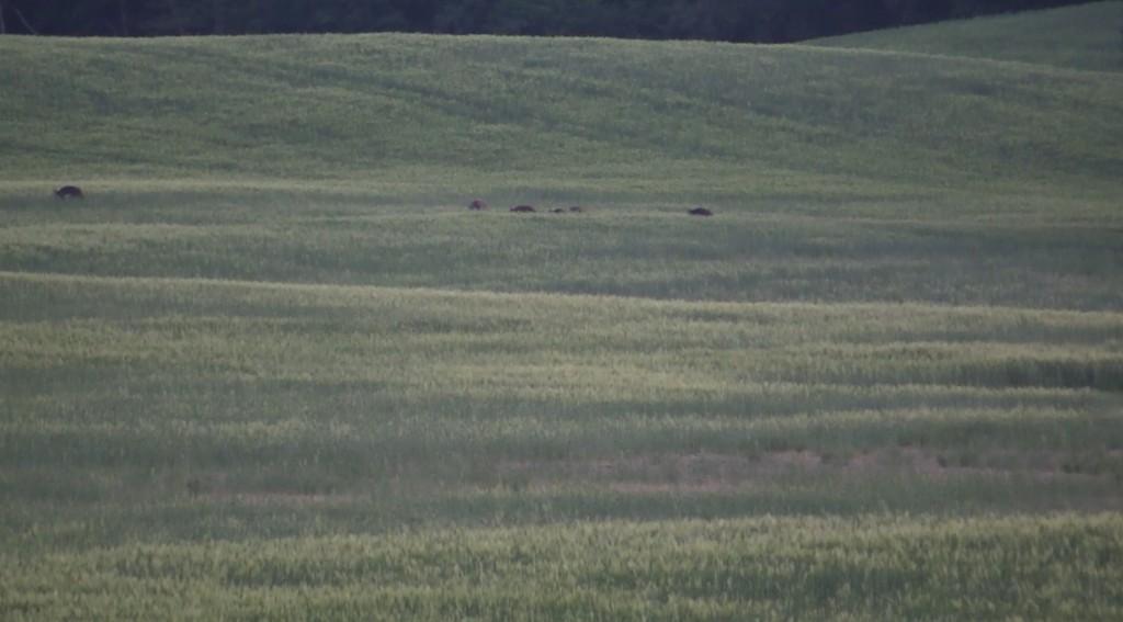jaegermagazin weizenschweine wilddiebe 2016 juli sauen keiler überläufer Reilmann