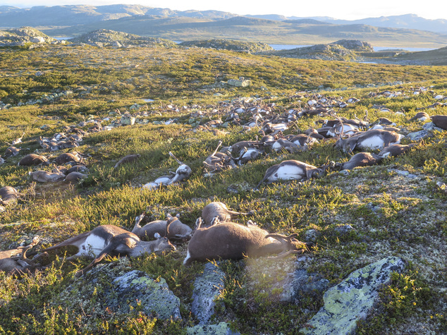 In this image made available by the Norwegian Environment Agency on Monday Aug. 29 2016, shows some of the more than 300 wild reindeer that were killed by lighting in Hardangervidda, central Norway on Friday Aug. 26, 2016, in what wildlife officials say was a highly unusual massacre by nature. (Havard Kjotvedt /Norwegian Environment Agency, NTB scanpix, via AP) Chronic waisting disease