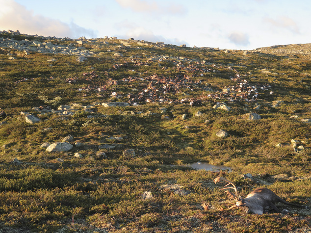 In this image made available by the Norwegian Environment Agency on Monday Aug. 29 2016, shows some of the more than 300 wild reindeer that were killed by lighting in Hardangervidda, central Norway on Friday Aug. 26, 2016, in what wildlife officials say was a highly unusual massacre by nature. (Havard Kjotvedt /Norwegian Environment Agency, NTB scanpix, via AP)
