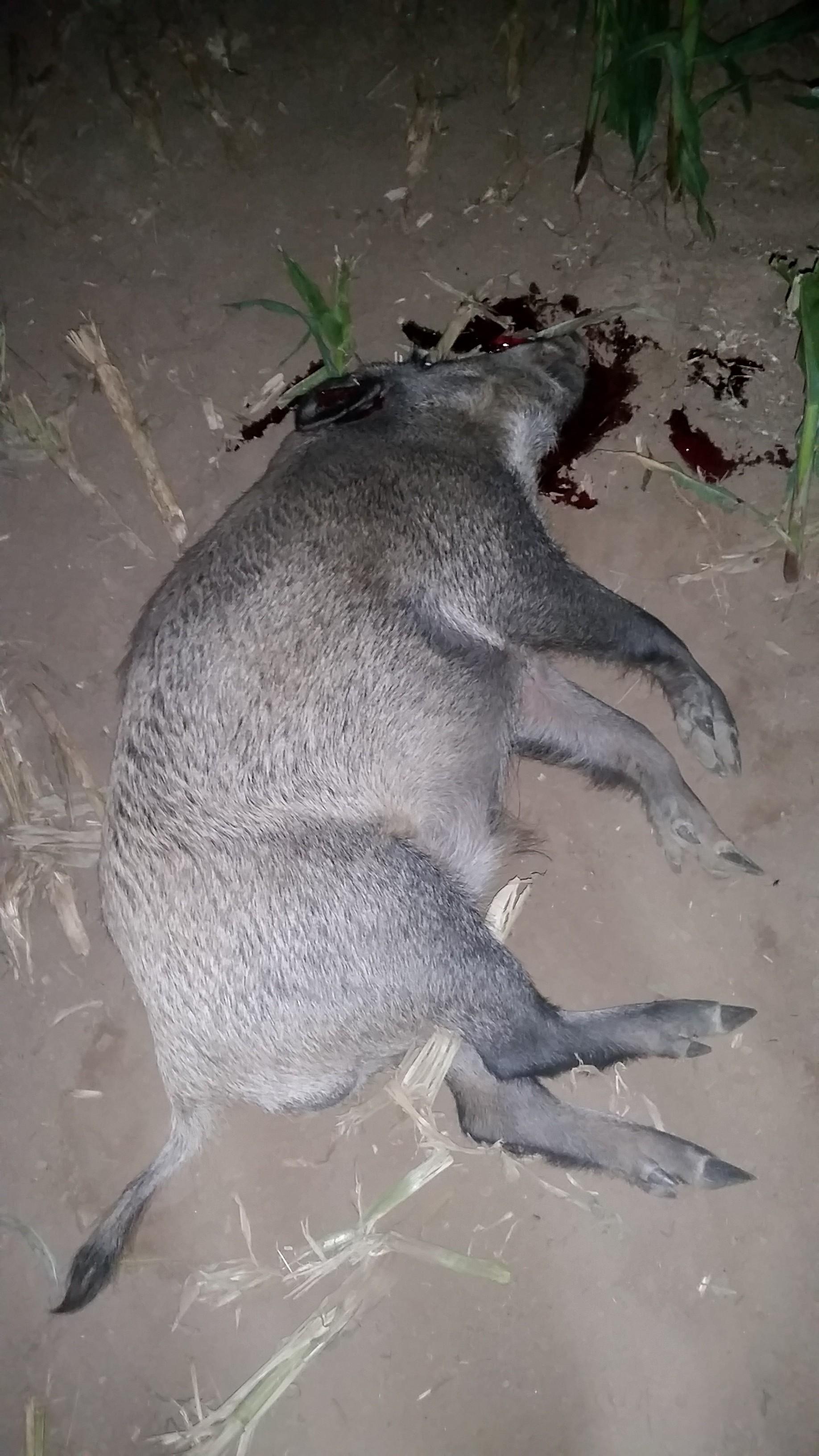 Der Überläuferkeiler lag mit sauberen Schuss am Anschuss. jaegermagazin jagd wilddiebe sauen schwarzwild wildacker reilmann