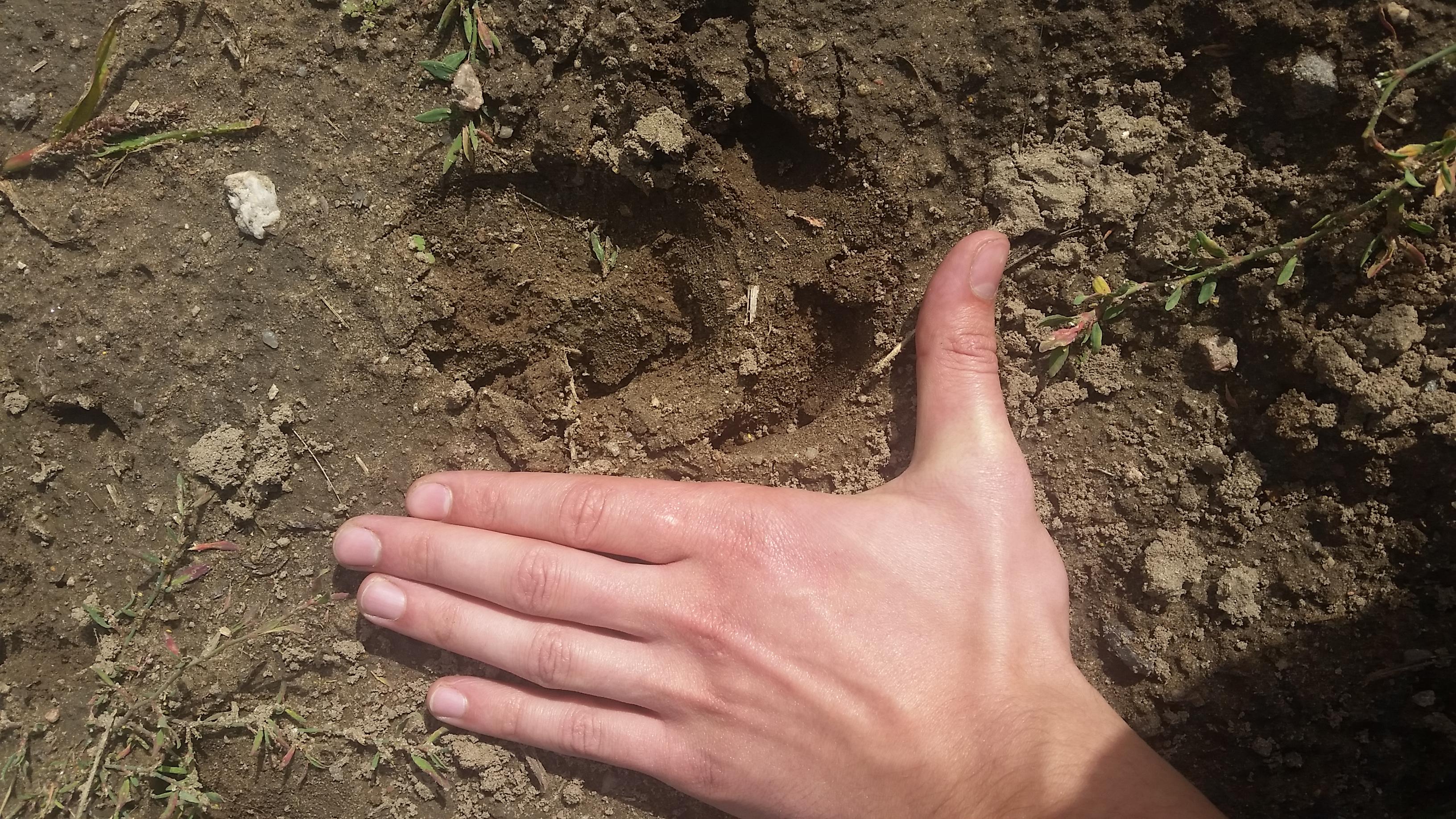 Hinter dem sind wir jetzt her. An der Maiskante fährteten wir diesen Keiler, wir schätzen er hat über 120kg jaegermagazin jagd wilddiebe sauen schwarzwild wildacker reilmann
