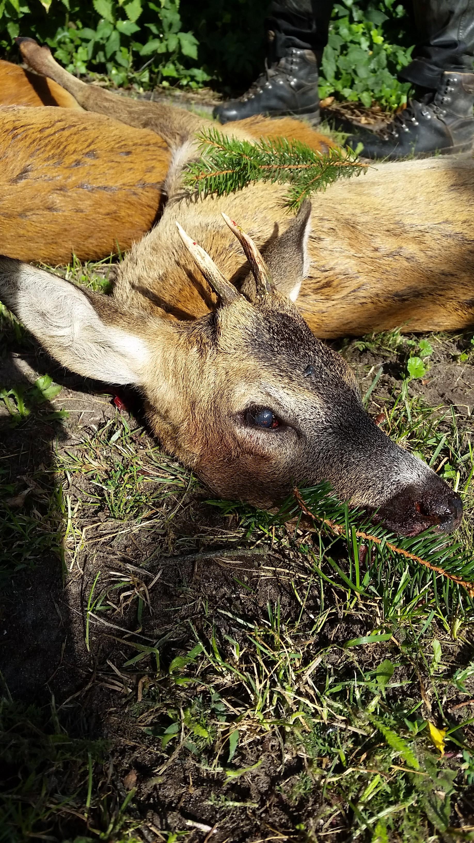 KAPITAL! Pauls zweiter Bock dieses Jahrjaegermagazin wilddiebe reilmann jagdRapsernte Blattzeit