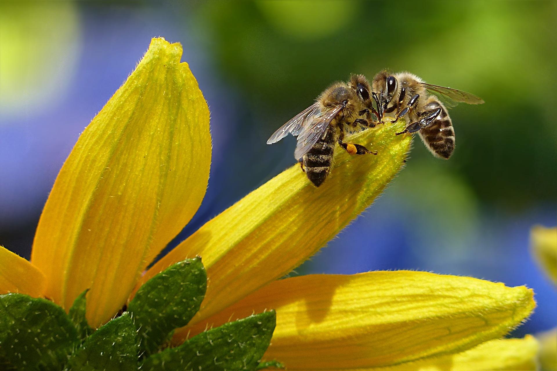 Insektizide werden eigentlich nicht gegen Nützlinge wie die Honigbiene eingesetzt, trotzdem leiden sie unter dem Einsatz.