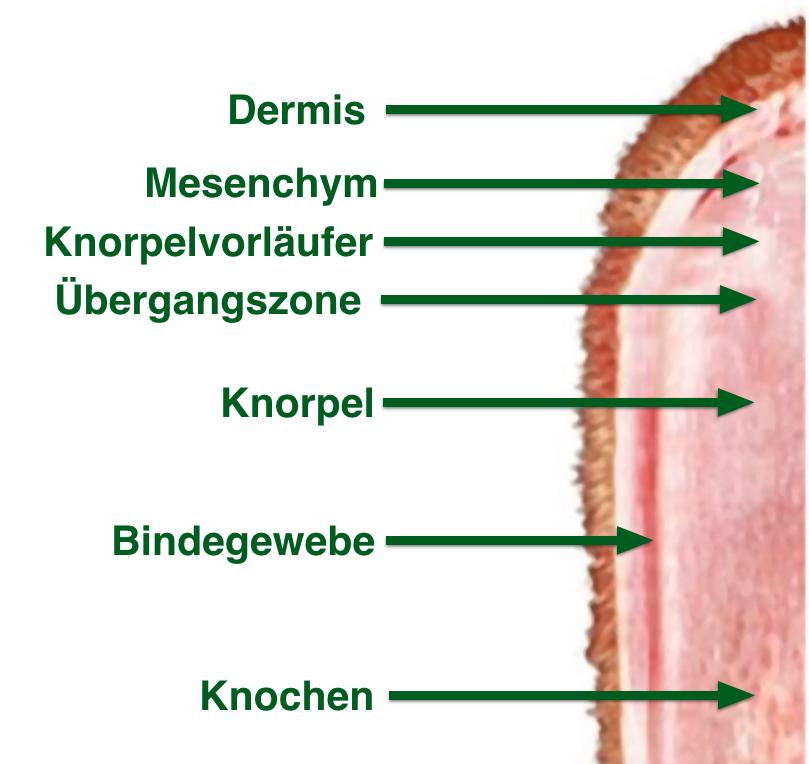 Trophäe Hirsch Rothirsch Rotwild Geweih Entwicklung Wildbiologie Jägermagazin Geweihentwicklung beim Rothirsch