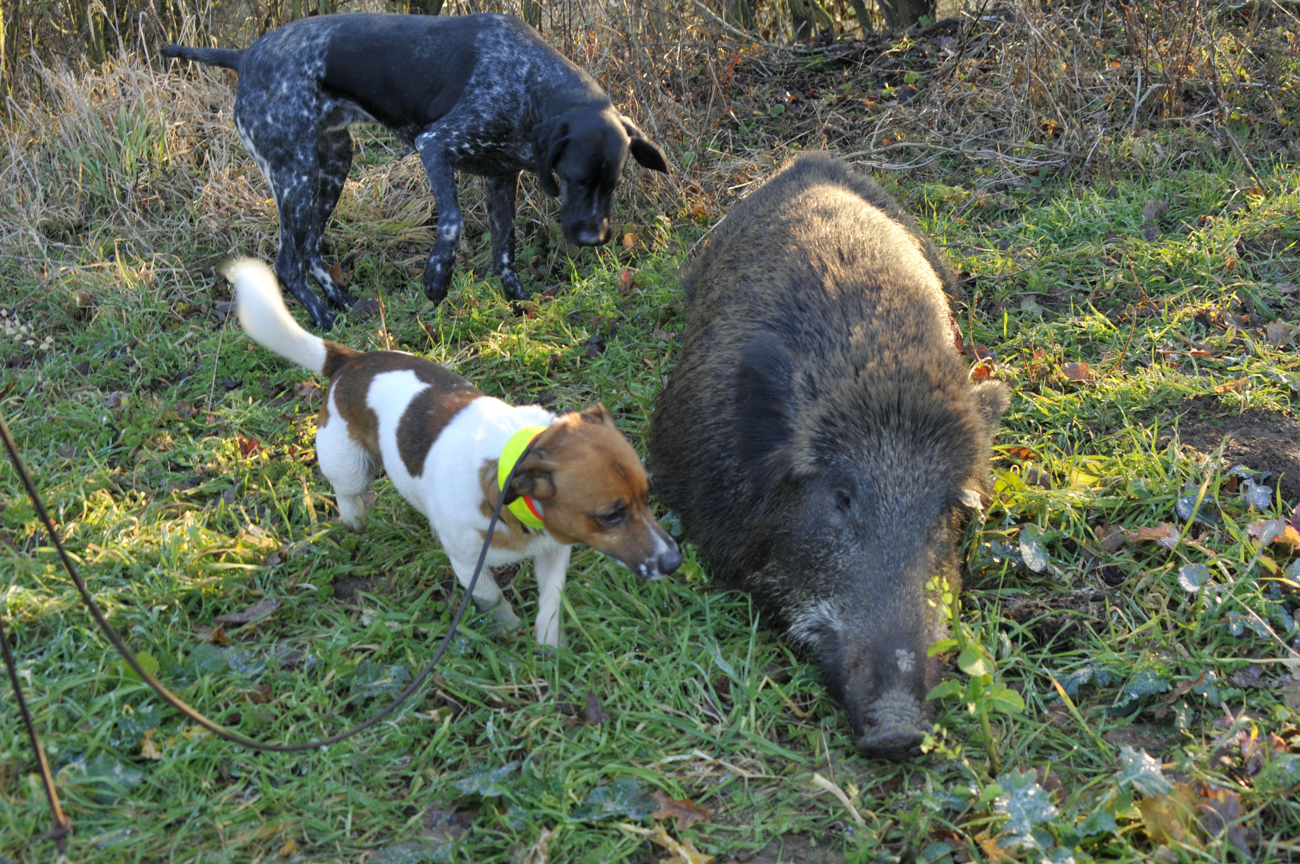 Jagdhunde an geschossener Wildsau HeidlerJagd jagen jäger jaegermagazin jagdtrieb