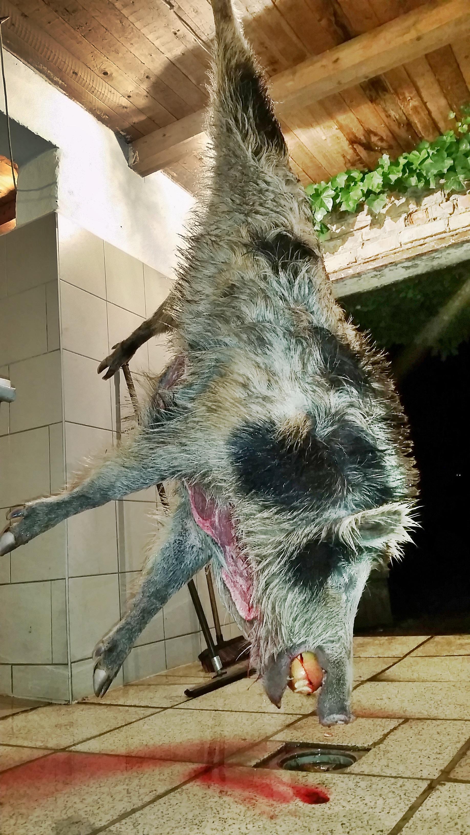 pauls-weissbunter-wog-76kg.-jagd-jagen-jaeger-jaegermagazin-wilddiebe-damwildbrunft-damhirsch.