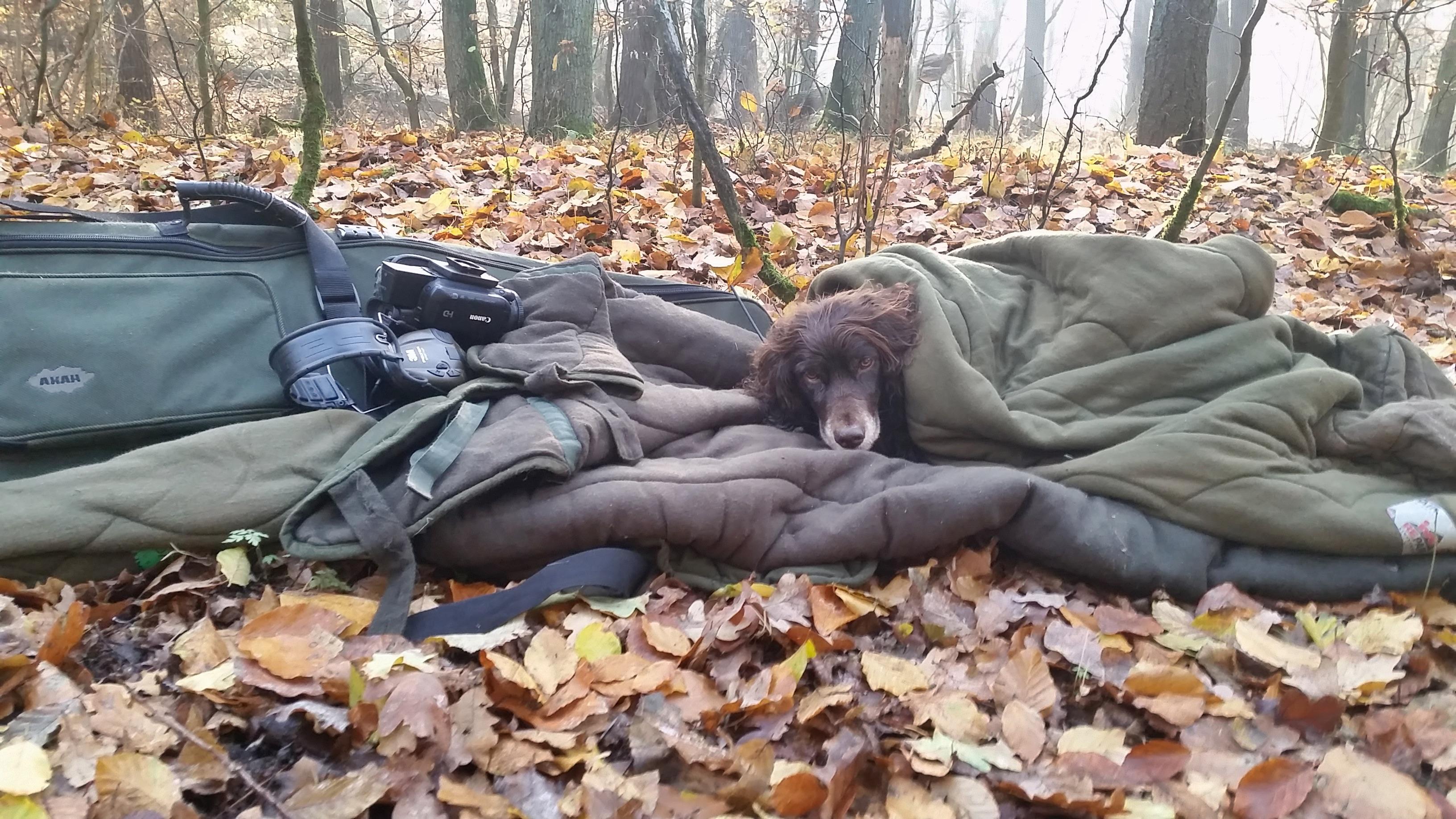 Nach der Jagd am Freitag war unsere Wachtelhündin Ulme fix und fertig. Es war reichlich Wild im Treiben sie hatte sich sichtlich überanstrengt. // Wilddiebe Drückjagd Sauen Treibjagd Schwarzwild
