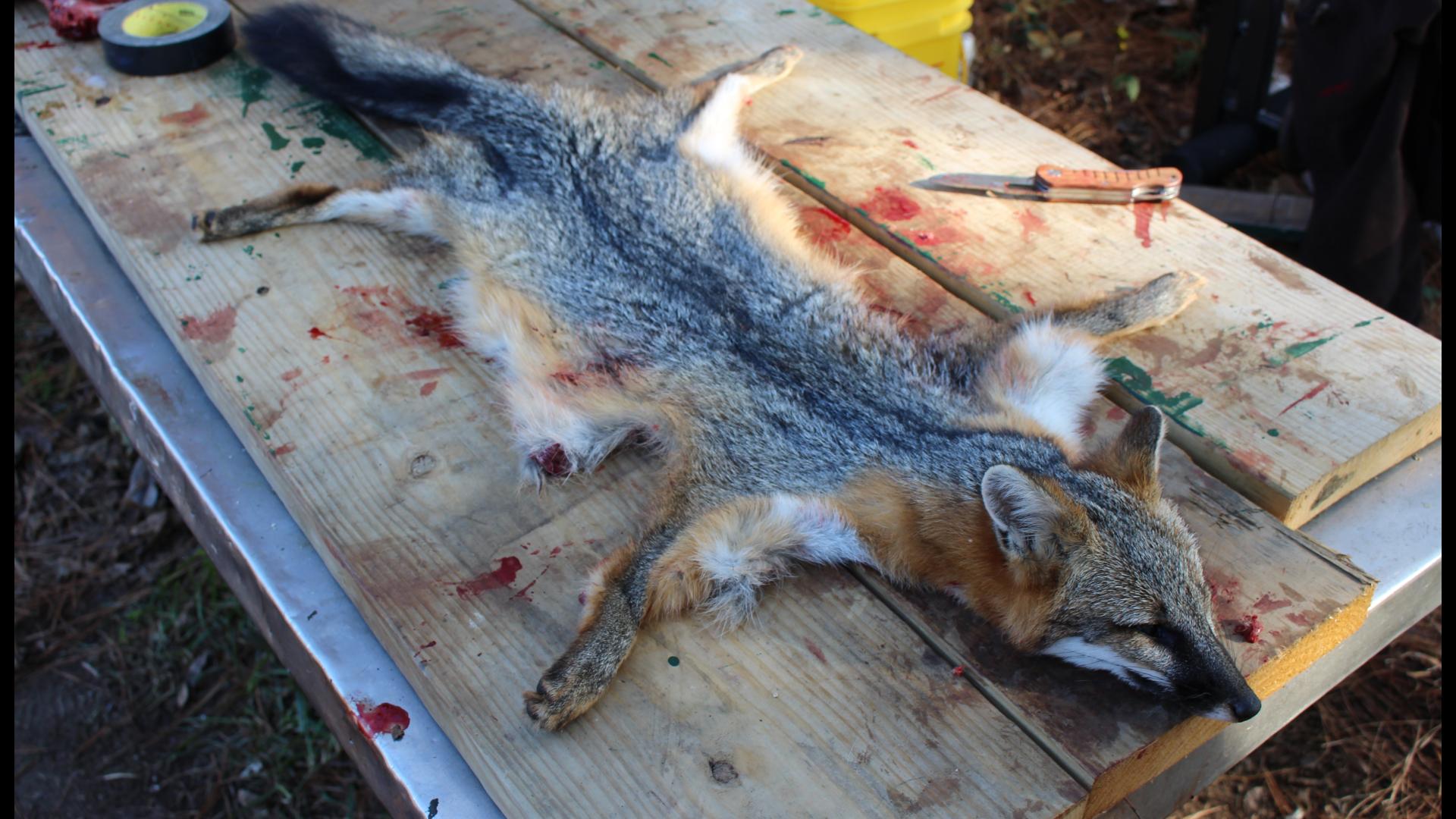 natuerlich-wurde-auch-der-graufuchs-fertig-gemacht-das-war-ja-schliesslich-auch-pauls-erster-jagd-jagen-jaeger-jaegermagazin-wilddiebe-lockjagd-mit-jeff-johnson