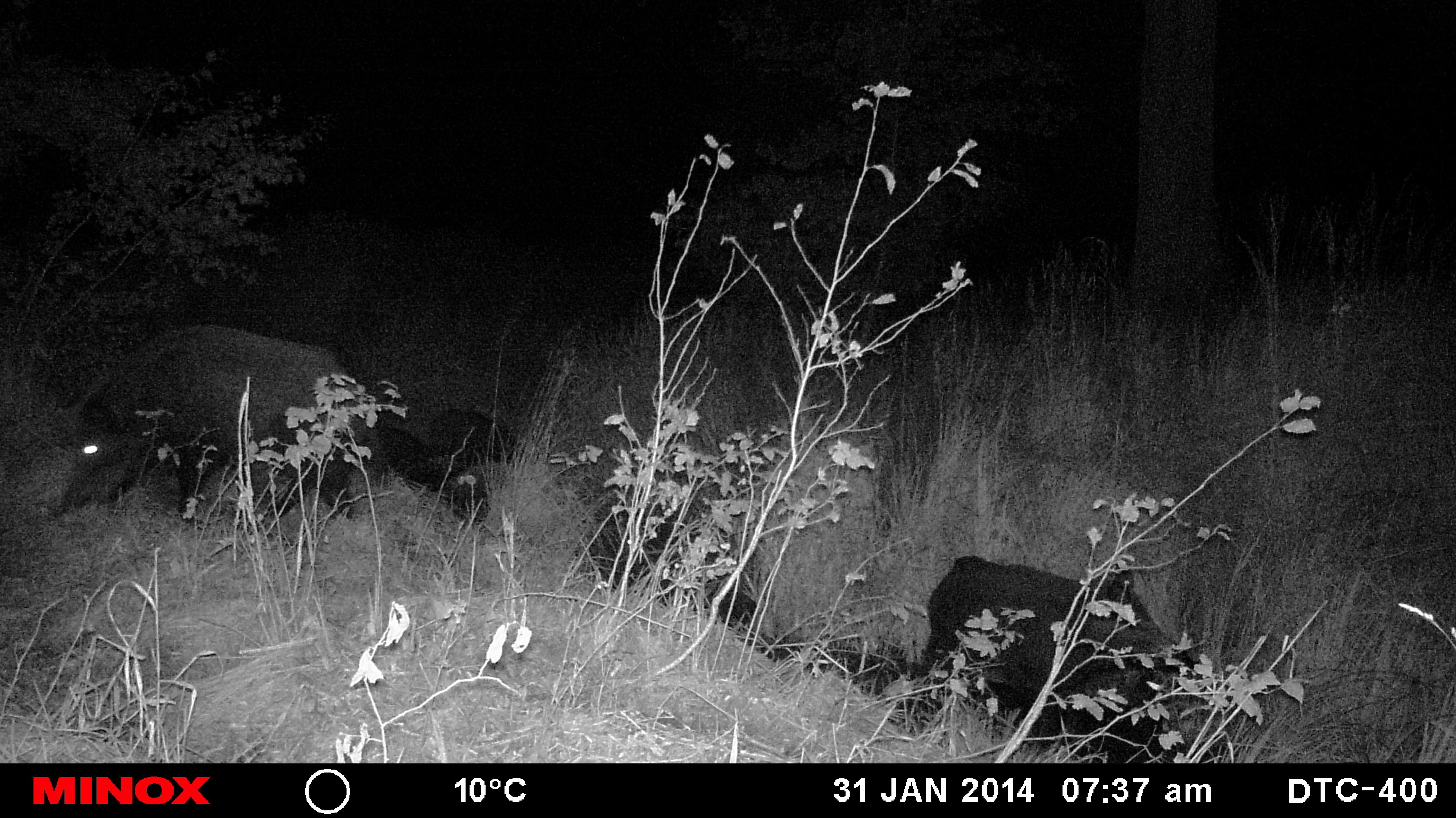Sauen waren zwar steht auf den Wildkameras, aber mit so vielen hatte keiner gerechnet.
