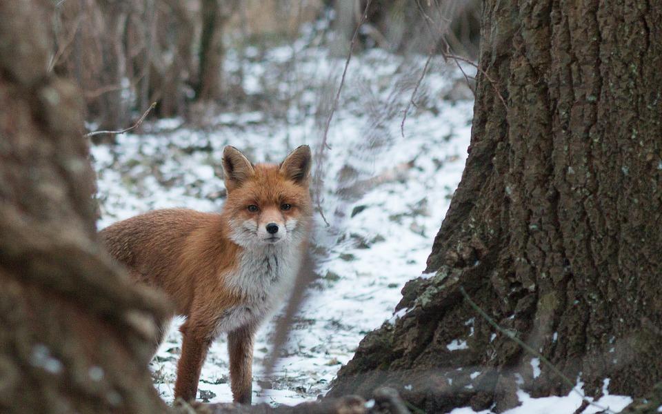 Fuchsjagd am luder
