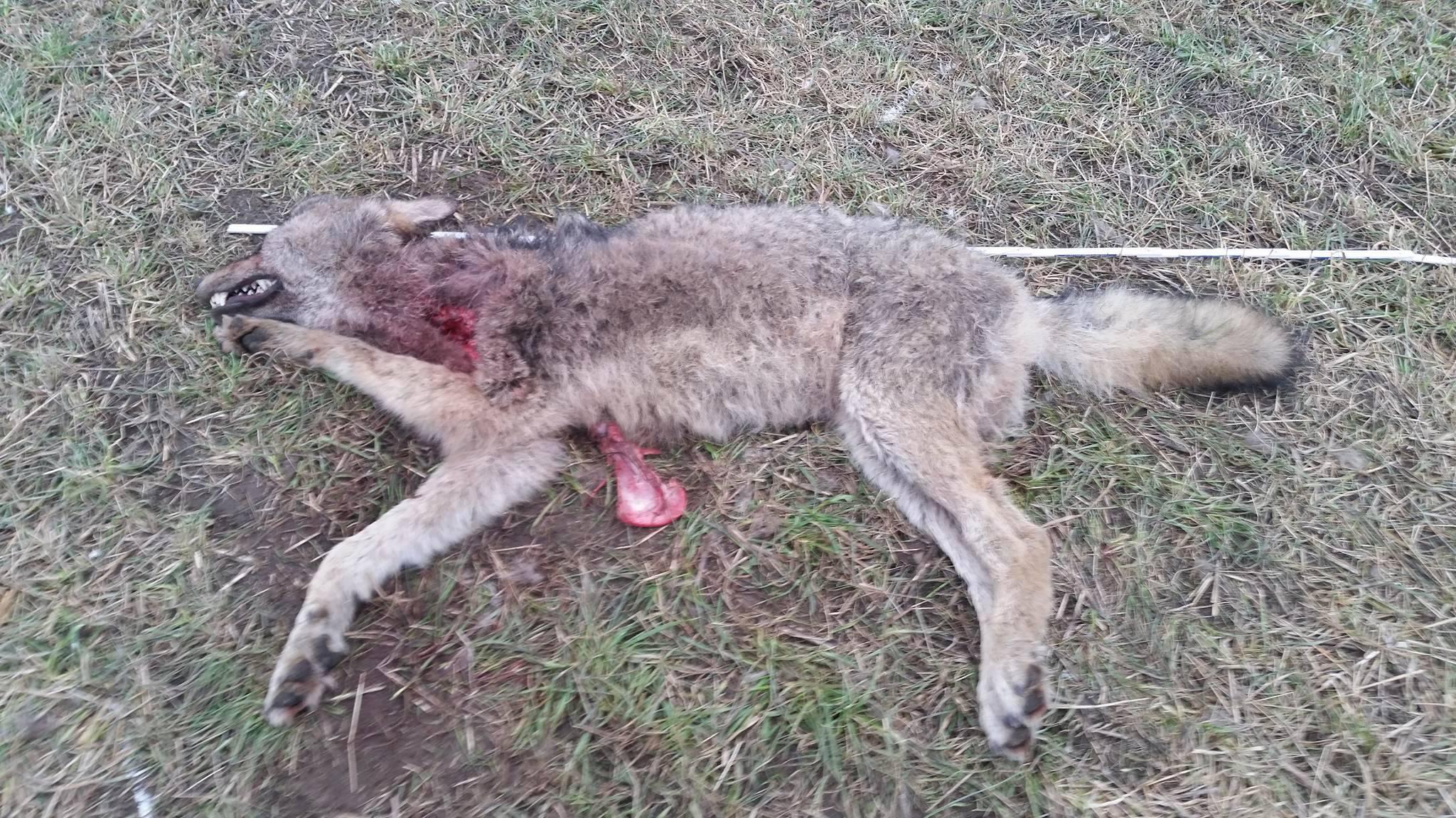 Wolfsbestand Wolf Wölfe Canis Lupus Jagd toter wolf geschossen jungwolf welpe jäger