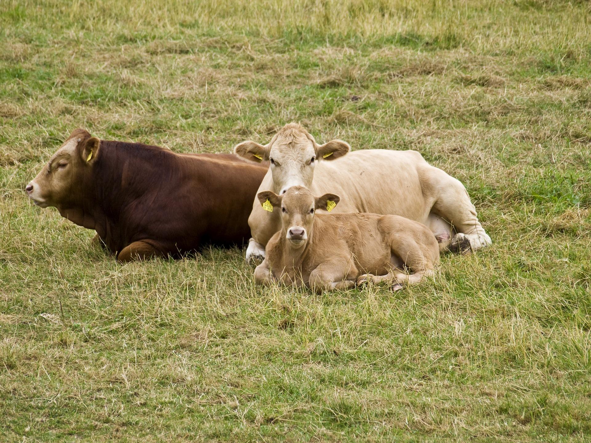Kuh Kühe Klimaschutz