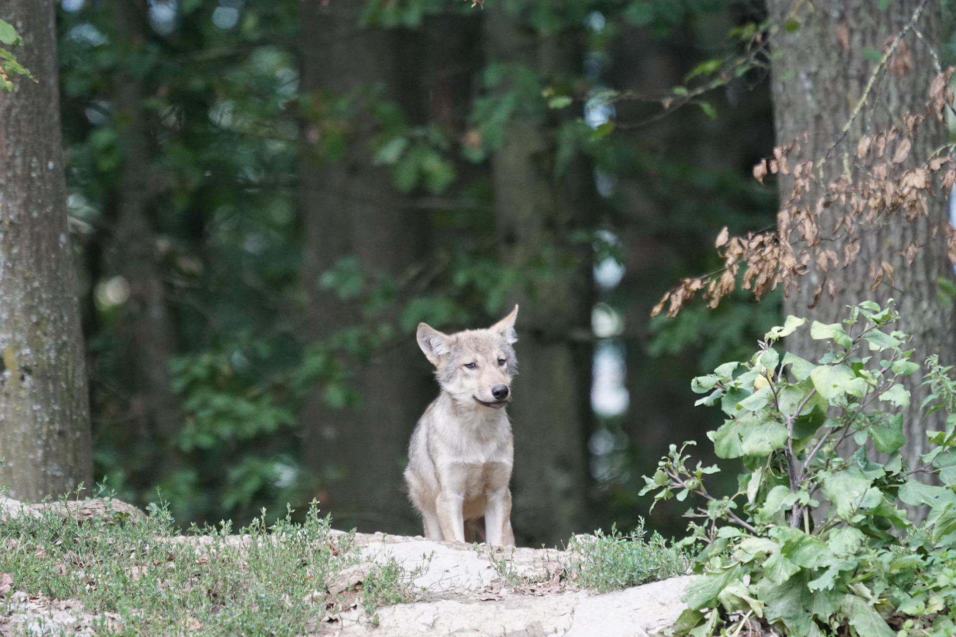 Wolfsbestand Wolf Wölfe Canis Lupus Jagd toter wolf geschossen