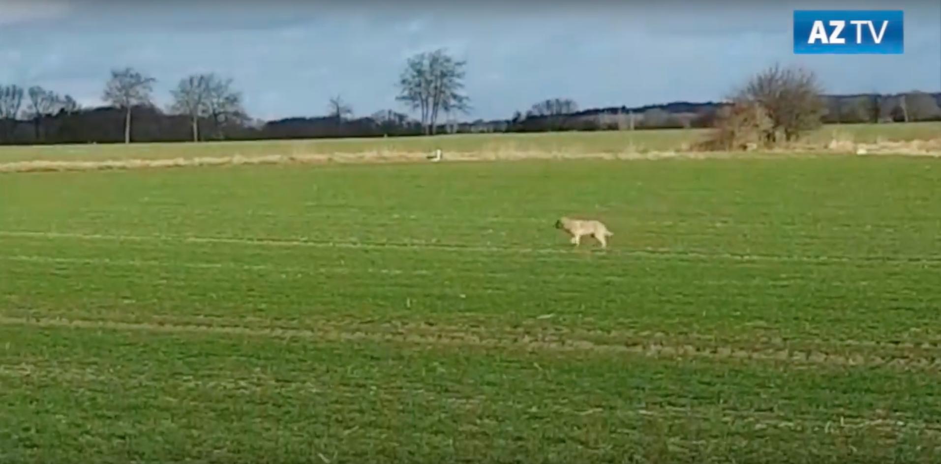 Joggerin Wolf Wolf nähert sich Joggerin auf 30 Meter – sie flüchtet auf einen Trecker. Niedersachsen