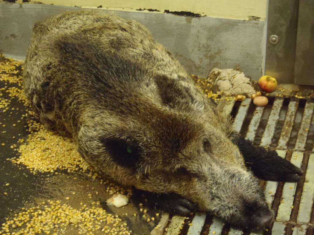 An der afrikanischen Schweinepest (ASP) erkranktes Wildschwein (Quelle: FLI)