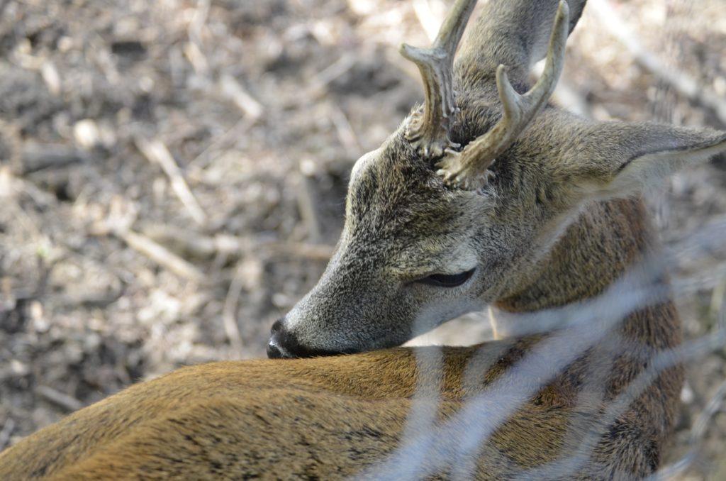 Rehbock Rehböcke Bock Bockjagd Roebuck Hunting Jagd Jägermagazin Rehwild Reh
