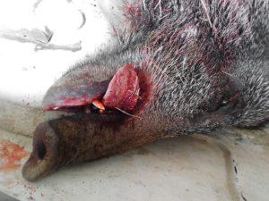 ASP in Belgien: zwei Sauen verenden an der Seuche