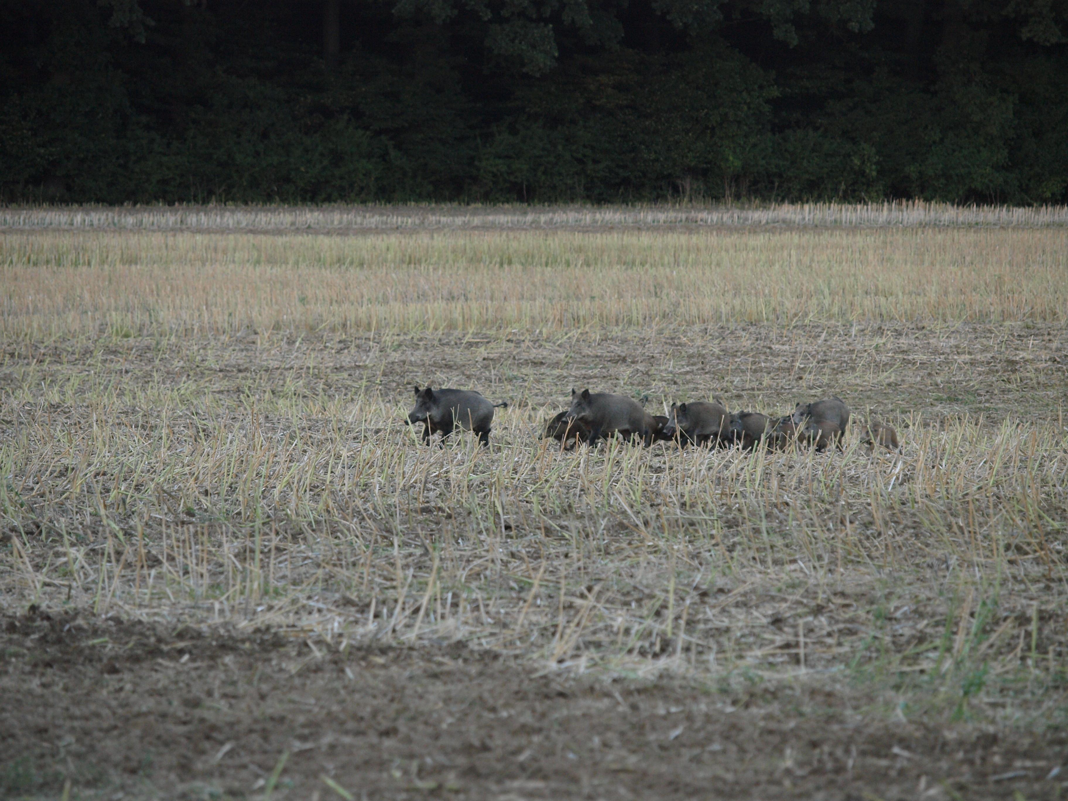 Bauernverband und Jagdverband rufen zu verstärkter Wildschweinjagd auf