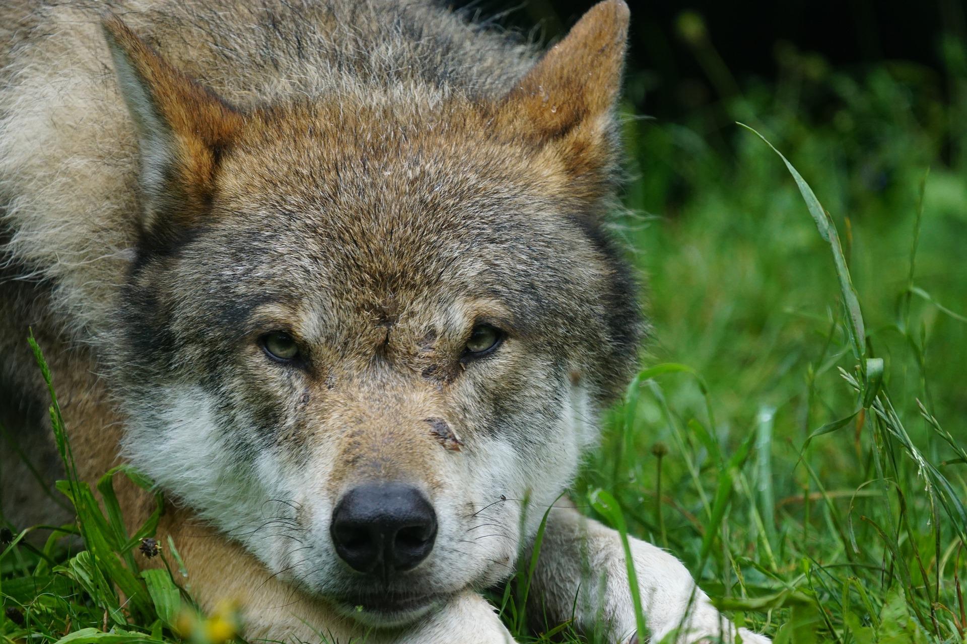 Wolf Wölfe Wollhybride Wolfshybriden Jägermagazin