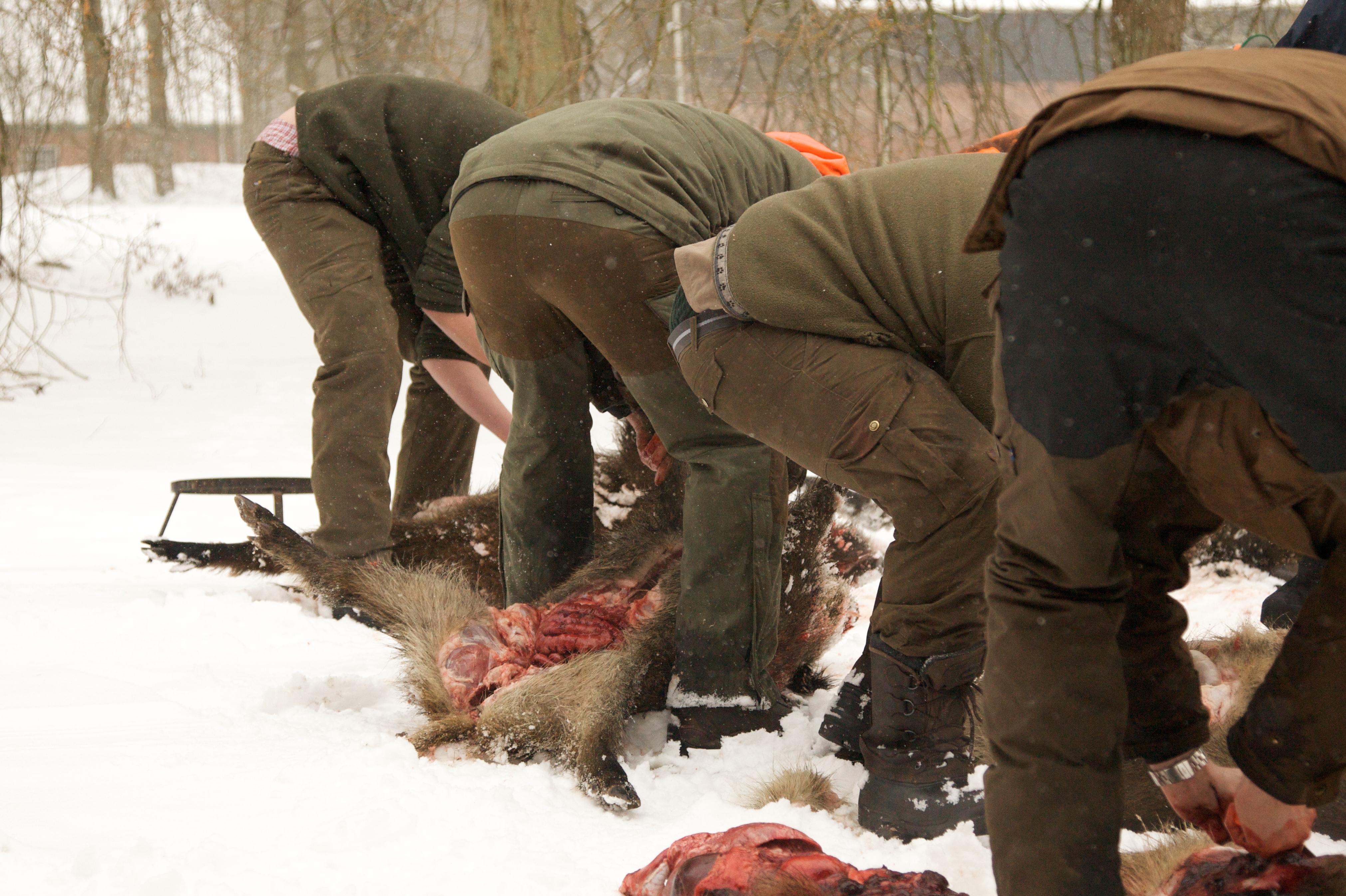 Wie überträgt sich dieAujeszkysche Krankheit? Was ist die Aujetzkische Krankheit Sauen Wildschwein Keiler Strecke Wildbret Schweinefleisch Wie schütze ich meinen Hund vor der Aujeszkyschen Krankheit Aufbrechen Schwarzwild Wildkammer Wild Eingeweide