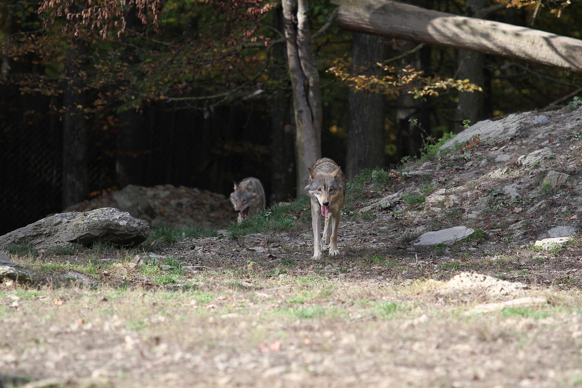 Wolf tötet Hunde Wolf Wölfe Wolf im Faktencheck Wölfe Deutschland canis lupus jäger Jagd Natur bald fort nutztier