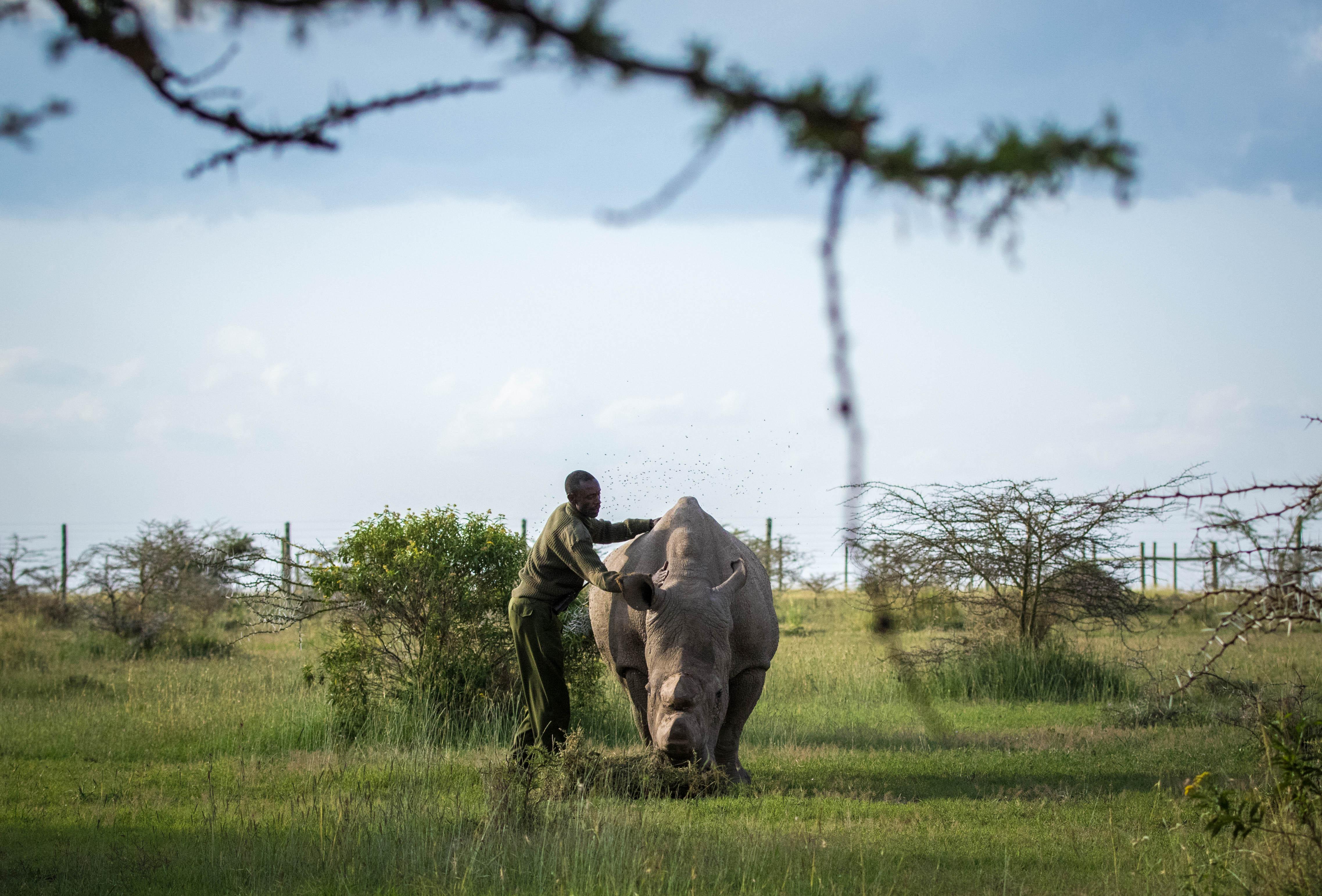 Letztes männliches Nördliches Breitmaulnashorn gestorben