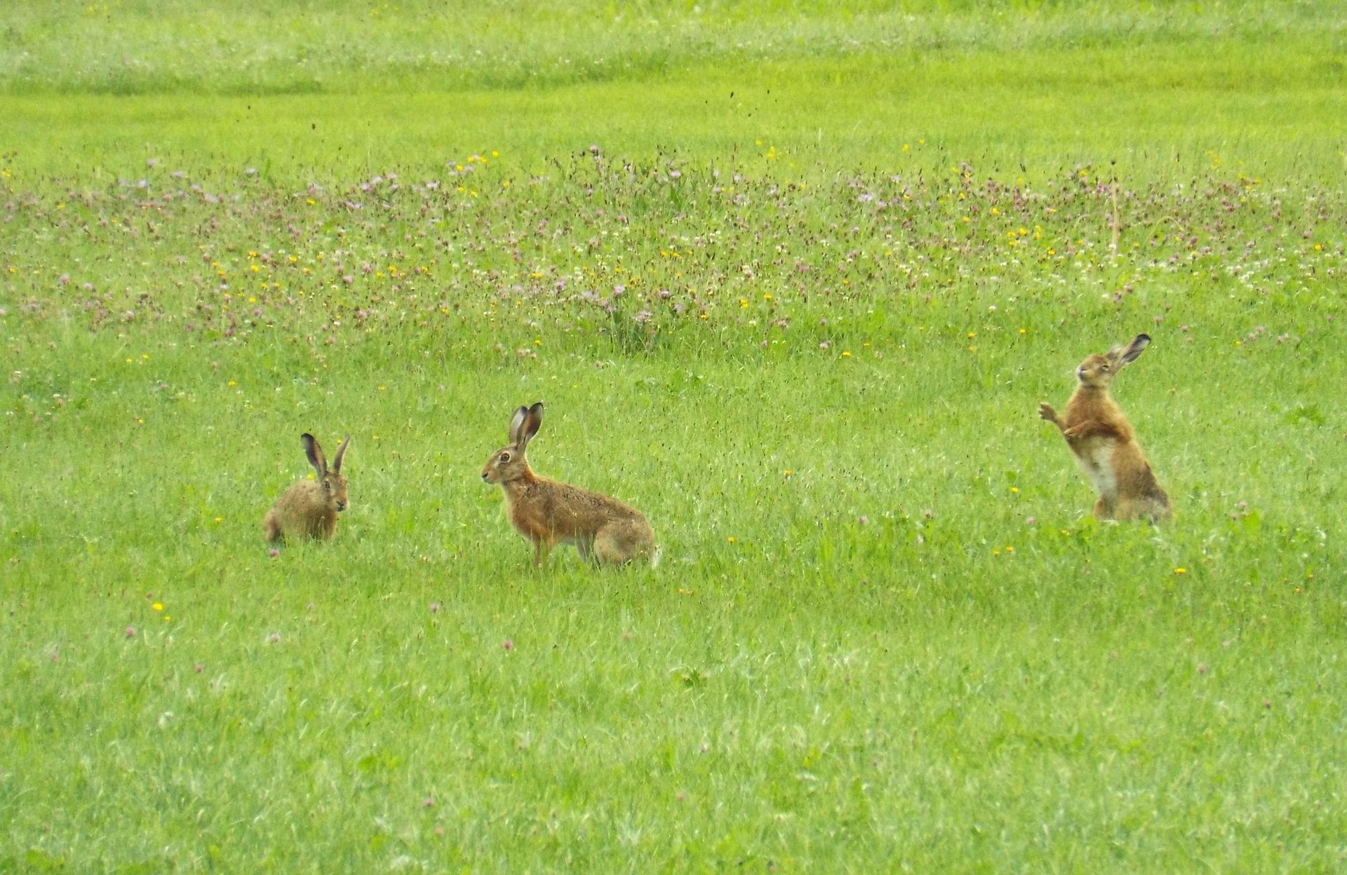 Im vergangenen Frühjahr haben Jäger durchschnittlich 11 Feldhasen pro Quadratkilometer auf Wiesen und Feldern in Deutschland gezählt.