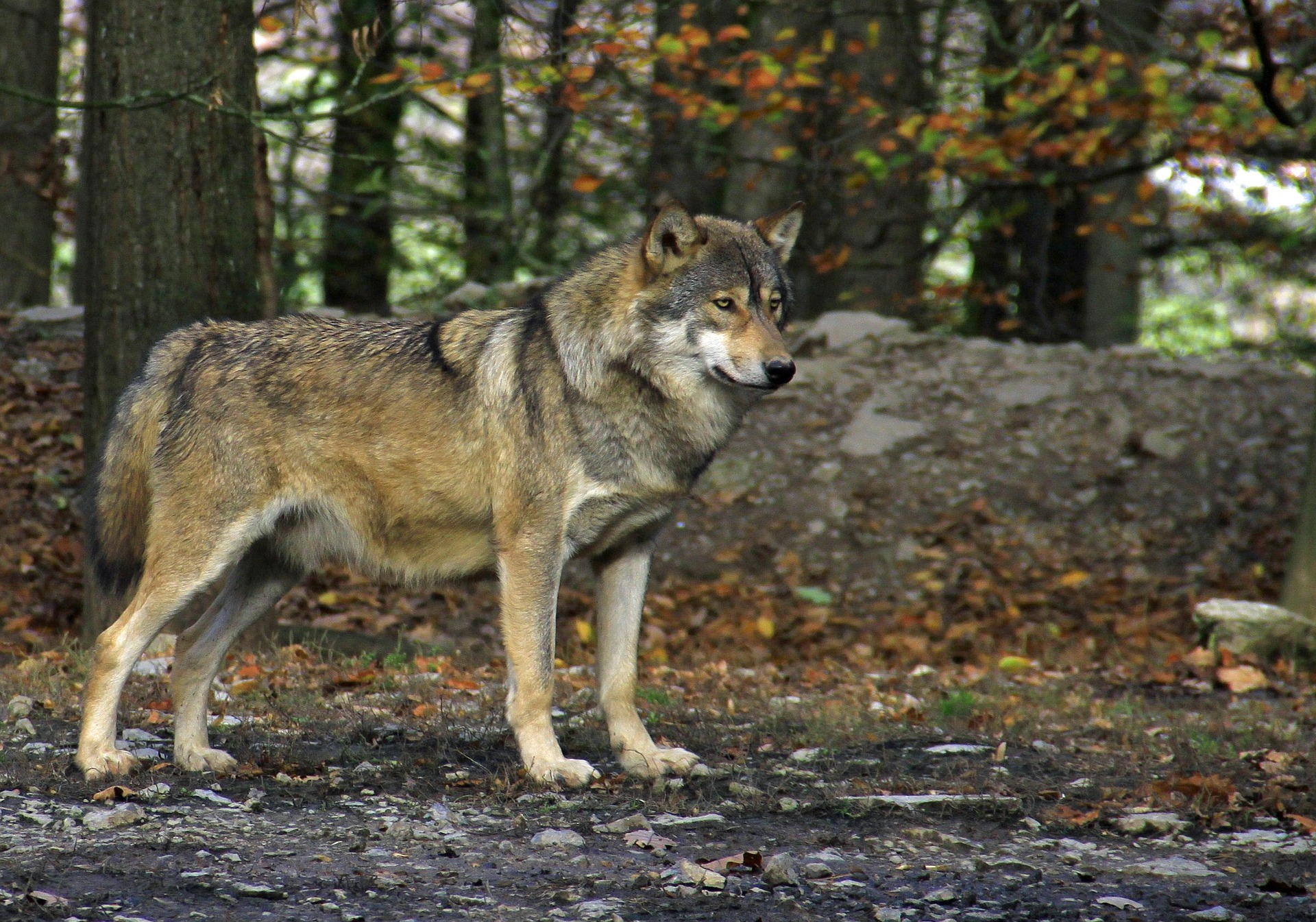 Mehr als 500 Wolfsrisse an Nutztieren in 2017