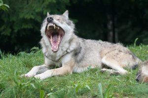 NABU und BUND finden klare Worte gegen die Wolfsinitiative von Niedersachsen, Sachsen und Brandenburg. Einen Wolfsabschuss zu erleichtern lehnen sie ab.