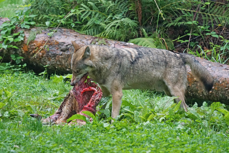 Sind die europäischen Wölfe größtenteils Hybriden? Das Thema Wolfshybrid beschäftigt nicht nur das Senckenberg-Institut, wie Dr. Nina Krüger berichtet.